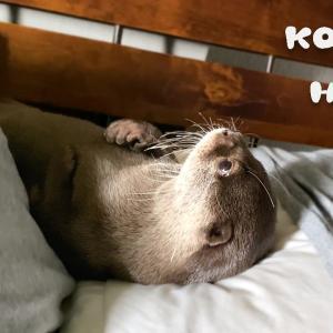 カワウソコタローとハナ 完全に枕を占領しはじめたカワウソ軍 Otter Kotaro&Hana Take Over My Pillow