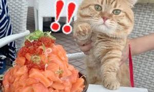 はじめての海でメガ盛り海鮮丼に出会った猫たちの運命は…【ねこ散歩】Munchkin cat VS Bowl of rice topped with sashimi【supersized】