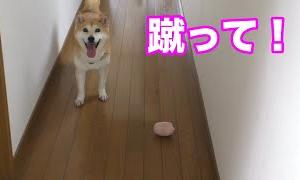 柴犬小春 「蹴って」ボールを持って付いて回る柴犬