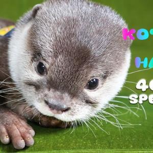 【40万人記念】カワウソコタロー 赤ちゃん時代スペシャル Otter Kotaro Precious Moments of Babyhood