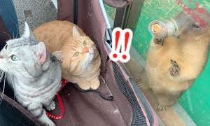 初めての動物園で猫たちの見せた反応がまさかの…【ねこ散歩】The cats visited the zoo for the first time.