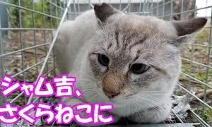 裏庭猫シャム吉、さくらねこに Siam Cat had a castration operation