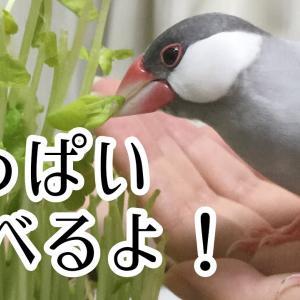 食べる姿が可愛い!食欲旺盛な文鳥よもぎ 癒し動物 面白い動物