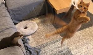 カワウソさくら ジャンプの練習に励むも猫様はやはり強い Otters practicing jumps