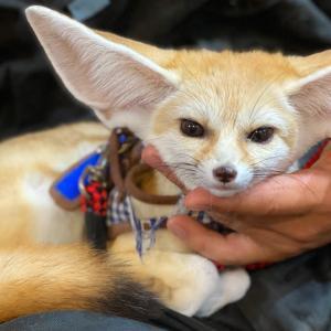 世界一可愛い動物、フェネックと触れ合える動物カフェ