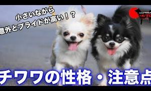 チワワの性格 飼う前に知っておいてほしい注意点 PSDドッグサポートセンター いぬプロ inupro 子犬 飼い方 パピー トレーニング しつけ 教育