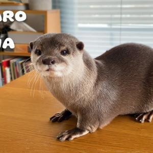 カワウソコタローとハナ 暴れまくる乙女ハナの一日 Otter Hana is Very Much a Tomboy
