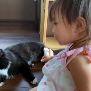 娘の遊びに積極的に付き合う猫 ラガマフィンA cat who actively associates with her daughter's play. Ragamuffin.