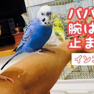 パパの腕はインコ達の止まり木になった。ぽぴ&ぴっぴ【セキセイインコ】budgerigar.