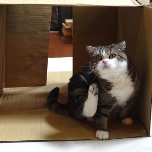 箱が絡むとテンションが上がるねこ。-Maru gets excited with the box.-