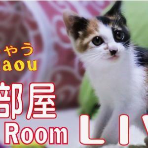 猫部屋ライブ映像   Cats & Kittens room 【CatsLive:Miaou みゃう】