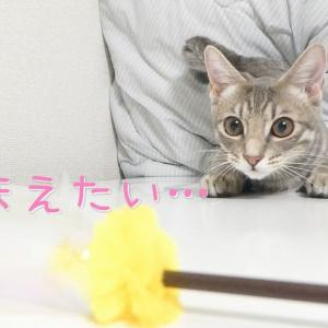 カメラに迫ってくる子猫【保護猫・生後160日】Kitten approaching the camera