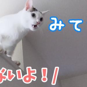 初挑戦!高い場所から飛び降りようとするお喋り猫