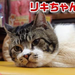 【猫ライブ】リキちゃんの花金ライブ!LIVE☆EOSRでライブ配信 りきちゃんねるライブ  Cat live stream