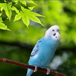 小鳥のさえずり 鳴き声【作業用30分】 セキセイインコ・うめ