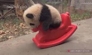 可愛い動物 パンダ!