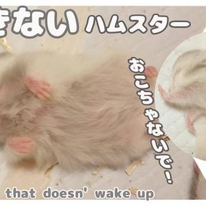 #ハムスター#hamster#おもしろ可愛い動物 ハムスター かわいい赤ちゃん♪いつまでも起きない1匹Hamster cute baby♪Sleeping time