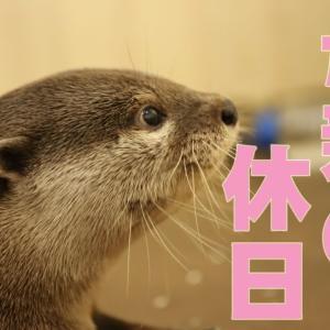 【カワウソ】まいにち忙しいお母さんの休日【#13】 / Otter family video #13