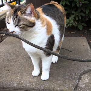 かつてないマタタビ酔いを見せる三毛猫 The highest cat ever