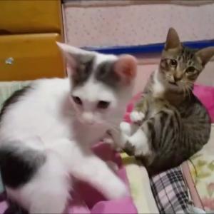 沖縄ねこ ネコ 猫 噛みたいニャ~ Okinawa Cat