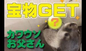 【カワウソ】わかばやしお父さんの宝物【#15】 / Otter family video #15