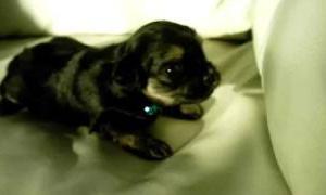 子犬の鳴き声  (dog puppy ヨークシャーテリア こいぬ)