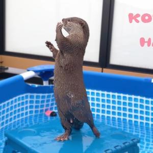 カワウソコタローがこっそり指しゃぶりしてる!? Otter Kotaro Finger Sucking Again?