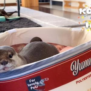 カワウソに猫缶ベッドあげたらウソ缶が誕生した! Otter Funny Birthday Gift!