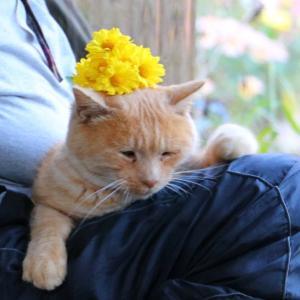 菊の花のせ猫 Cat with chrysanthemums 201116