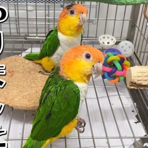 いたずらがバレて気まずい シロハラインコ Caique parrots playing