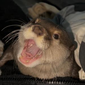 カワウソさくら 寝落ちしたらお腹の上で一緒に寝ていたカワウソ otter woke up with its owner