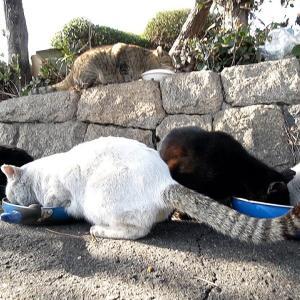 カルカン(kalkan)とちゅ~るとカリカリを給餌 野良猫のルーティーン ASMR