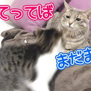 空気が読めない子猫と、我慢を続ける先住猫(健気で泣ける)/Kittens who can't care and older cats who endure