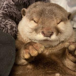 カワウソさくら 戦うことを忘れた大怪獣ぽちゃぽちゃ丸 liquid-like otter without a sense of crisis