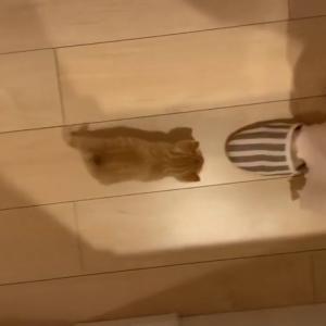 一生懸命てちてち走ってる❤️#ねこ#猫#ネコ#cat#可愛い#ペット#癒される#猫のいる暮らし#tiktokオーディション2020