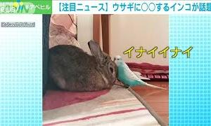 """陽気なインコ ウサギに""""いないいないばあ""""!(2021年1月25日)"""