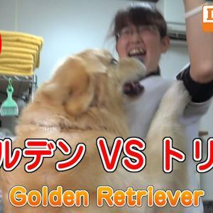 ゴールデン VS トリマー Golden Retriever 大型犬 シャンプー編 DOG HOME トリミングサロン