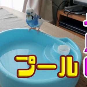 小鳥のプールで遊ぶ小鳥(インコ)(セキセイインコの銀時じょじょじょ♪日記)