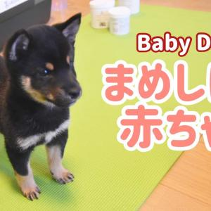 【豆柴】生後2ヶ月からの成長記録が可愛過ぎた Puppy growth diary【Uni the Dog】