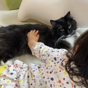 留守番を終えると帰ってきた娘と先住猫の側にいる猫 ラガマフィンThe cat, who was waiting at home alone, then spent time with someone.