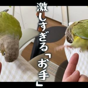 """爆笑!お手を習得したいインコ LOL! Parakeet who wants to learn """"Shake"""""""