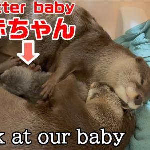 末っ子カワウソ赤ちゃんへの愛があふれる兄姉カワウソBrother otter caring for otter baby