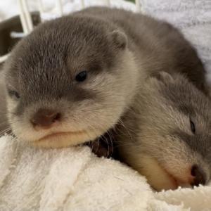 カワウソの赤ちゃんと大好物の魚、ママはどっちを選ぶ!?  Otter baby or  fishes, which one does mom choose?