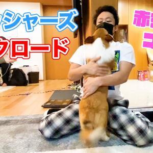 フィッシャーズのシルクと遊ぶ子犬コーギーが可愛い