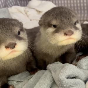 カワウソの赤ちゃんがはじめて自分でおトイレした! Otter baby could excreted by herself for the first time!
