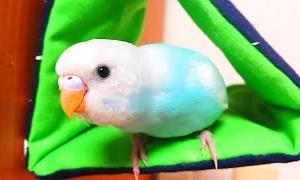 バードテントが大好きになりました/セキセイインコの幼鳥/生後52日目
