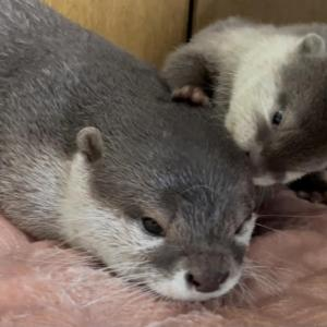 カワウソの赤ちゃんが走り回る! Otter baby runs around!