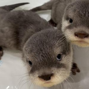 カワウソの赤ちゃん、お風呂でお水に慣れる練習中! Otter baby practice swimming in the basin