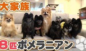 「どうぶつピース!!かわいい大図鑑」犬編(120)大家族:8匹ポメラニアン