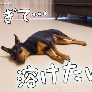 暑すぎて溶けちゃった犬が床に落ちていましたww【ミニチュアピンシャー】【ミニピン】【Dog】